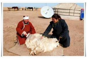 Combing hair of cashmere goat