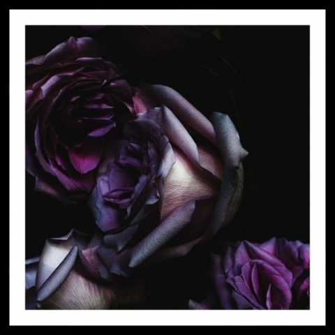 flower colours purple rose